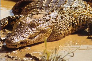 Image alligator sur le sol