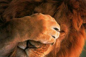 Fond Ecran Lion Et Lionne Photo Lionceau Du Zoo