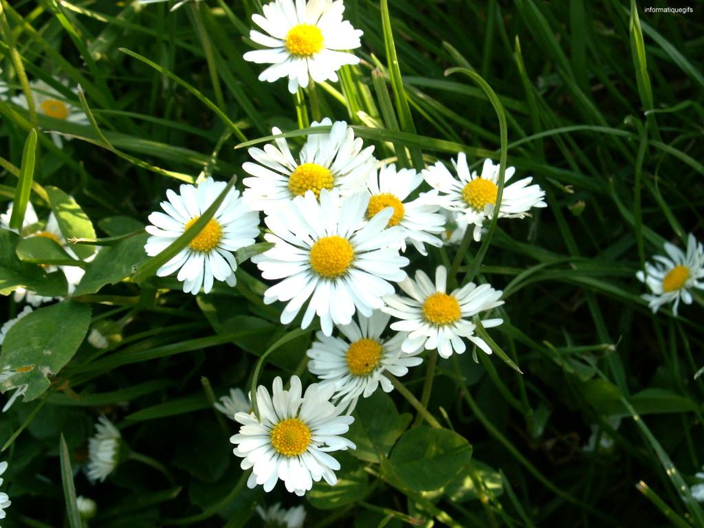Image fond ecran margueritte, petite fleur que nous trouvons dans les ...: www.informatiquegifs.com/fonds.php?fond=marguerite