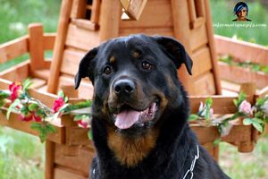 photo rottweiler devant un moulin